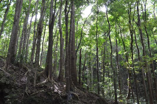 Mahogany man-made forest in Bohol