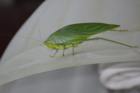 a big grasshopper