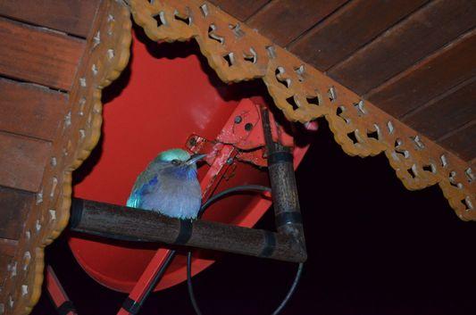 a blue bird on Koh Phangan