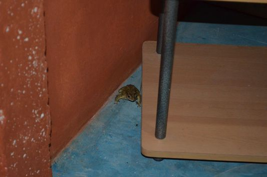 a frog in my house on Koh Lanta