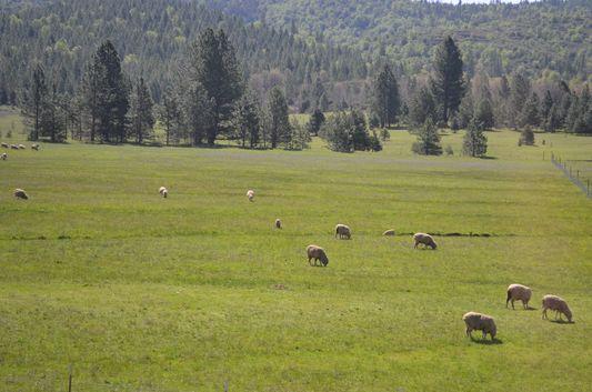 sheep in California