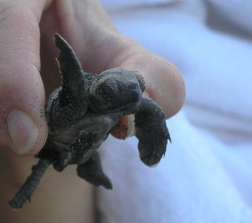turtle conservation in Montserrat Caribbean